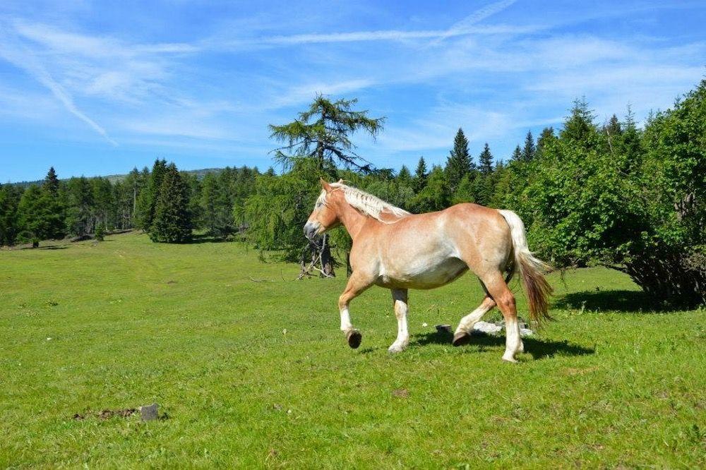 malga-di-coredo-cavallo